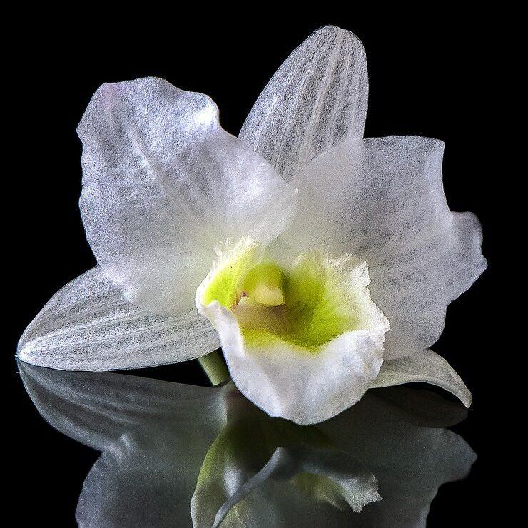 imagen de una orquídea blanca